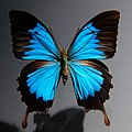 Papilio montrouzieri MNHN Minéralogie n1.jpg