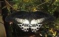 Papilio polymnestor – Blue Mormon 11.jpg