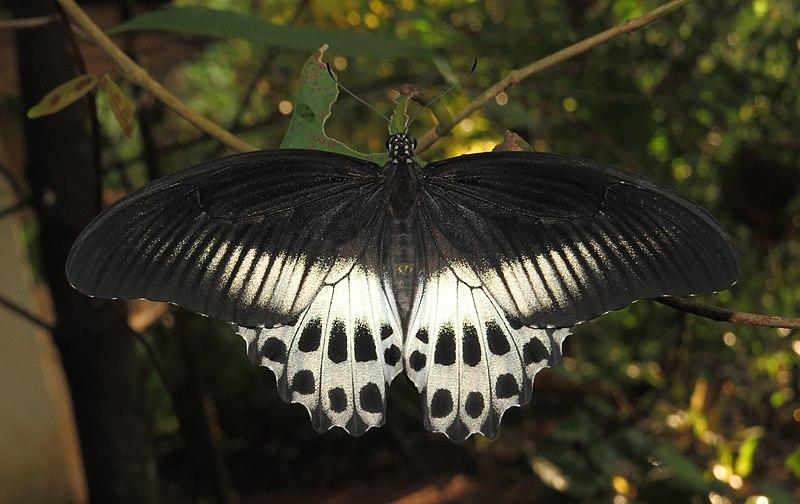 File:Papilio polymnestor – Blue Mormon 11.jpg