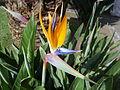 Paradiesvogelblume - Strelitzia.JPG