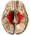 Parahippocampal gyrus - inferiror view.png