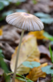 Parasola plicatilis (Nancy, France, 2019.10.22).png