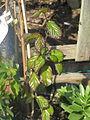 Parrotia persica (17227432216).jpg