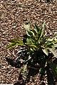 Parthenium integrifolium 9zz.jpg
