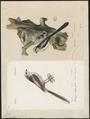 Parus caudatus - 1700-1880 - Print - Iconographia Zoologica - Special Collections University of Amsterdam - UBA01 IZ16100167.tif