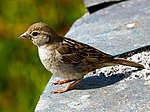Passer hispaniolensis -Canary Islands, Spain -female-8.jpg