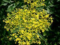 Patrinia scabiosifolia1