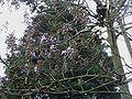 Paulownia tomentosa opening.jpg