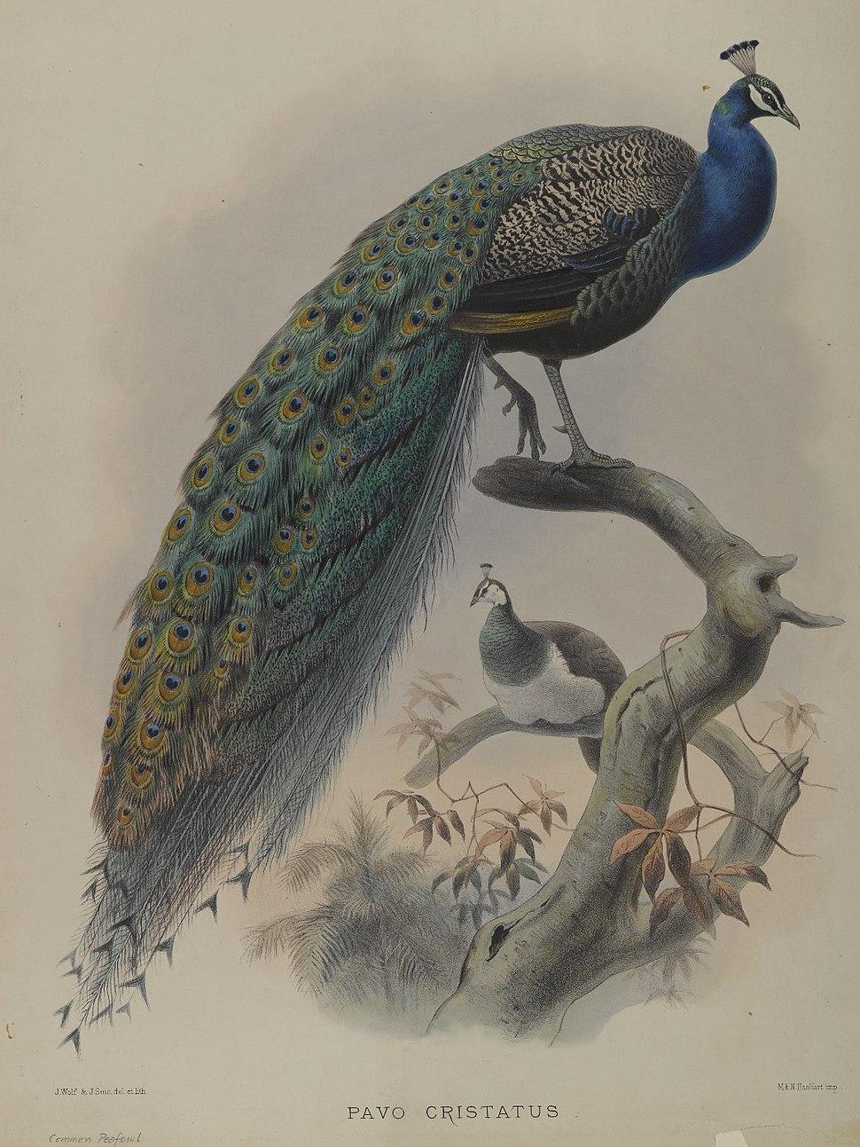 Pavo Cristafus- Common Pea Fowl. 64.98.209