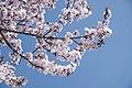 Peach blossom in Lhasa (Unsplash).jpg