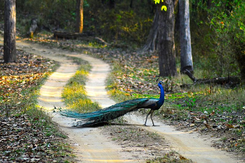 File:Peacock National Bird Of India - Kanha National Park.jpg