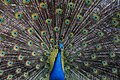 Peacock Plumage (Unsplash).jpg