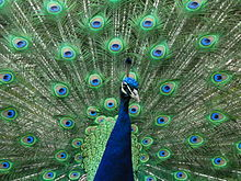 Peacock at Warwick Castle.jpg