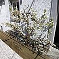 Pear tree in bloom 54.jpg