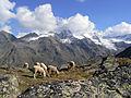 Pecore in Paradiso 12.JPG