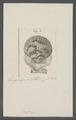 Pecten spec. - - Print - Iconographia Zoologica - Special Collections University of Amsterdam - UBAINV0274 075 01 0064.tif