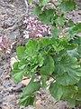 Pelargonium zonale Flipphi 2.jpg