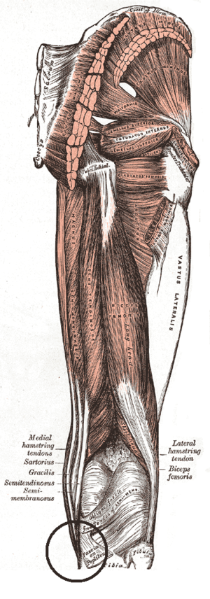 Pes anserinus (leg) - Muscles of the gluteal and posterior femoral regions. Area of pes anserinus is encircled at bottom. sartorius, gracilis and semitendinosus are labeled at bottom left.