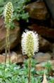 Petrophyton caespitosum 2.jpg