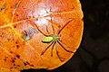 Peucetia viridana 7055.jpg