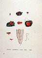 Peziza aurentia — Flora Batava — Volume v19.jpg