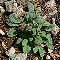 Phacelia hastata var charlestonensis 1.jpg