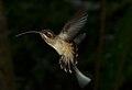 Phaethornis longirostris (Panama).jpg