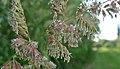 Phalaris arundinacea next to Columbia River 1.jpg