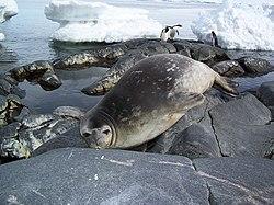 Un phoque de Weddell, avec des manchots Adélie, à l'arrière