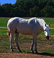 Photograph of a White Horse (3647730243).jpg