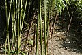 Phyllostachys bambusoïdes au début de l'été.jpg