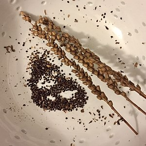 Physostegia virginiana - Because of its seeds, Physostegia may be invasive.