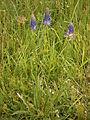 Phyteuma scorzonerifolium002.jpg