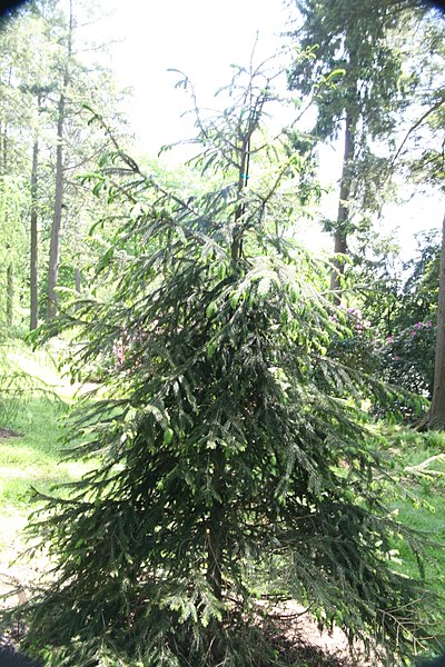 File:Picea abies 30zz.jpg
