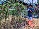 A criança pega pimentas em uma horta indonésio.