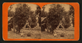 Picking oranges, from Robert N. Dennis collection of stereoscopic views.png