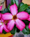 Picture of a pink Adenium obesum grown in Sherpur, Bihar, India.jpg