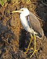 Pied Heron (Egretta picata) juvenile - Flickr - Lip Kee.jpg