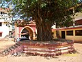 Pimpal Tree at Shri Mauli Mandir of Shiroda in Sindhudurg - panoramio.jpg