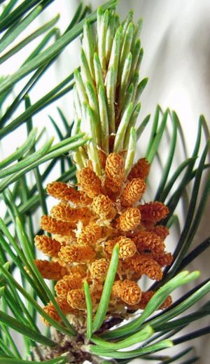 English: Pine cones, immature male. The yellow...