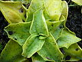 Pinguicula grandiflora 02 by Line1.jpg