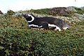 Pinguino de Punta Arenas.jpg