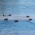 Pink-eared duck Burke River Boulia Queensland P1030472.jpg