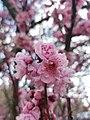 Pink Cherry Blossom tree.jpg