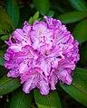Pink Rhdodendron (18751406015).jpg