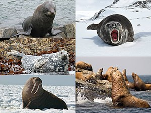 Pinniped - Clockwise from top left: New Zealand fur seal (Arctocephalus forsteri), southern elephant seal (Mirounga leonina), Steller sea lion (Eumetopias jubatus), walrus (Odobenus rosmarus) and grey seal (Halichoerus grypus)