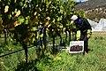 Pinot Grigio harvest, vintage 2012.jpg