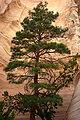 Pinus ponderosa Kasha-Katuwe Tent Rocks 2.jpg
