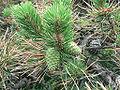 Pinus rigida Shawangunk Ridge.jpg