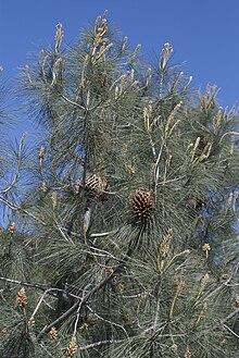 Pinus sabiniana.jpg